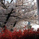 桜見さんぽ
