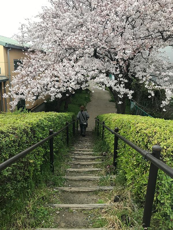 なぎろぐ 桜