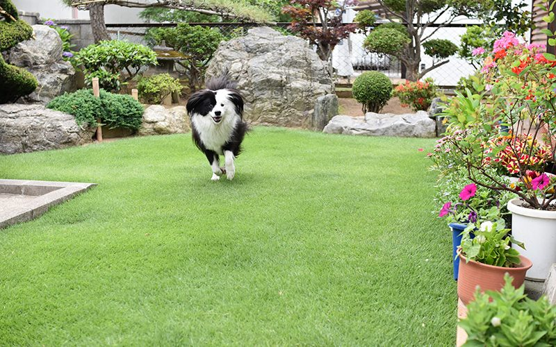ボーダーコリー 片パンダ犬