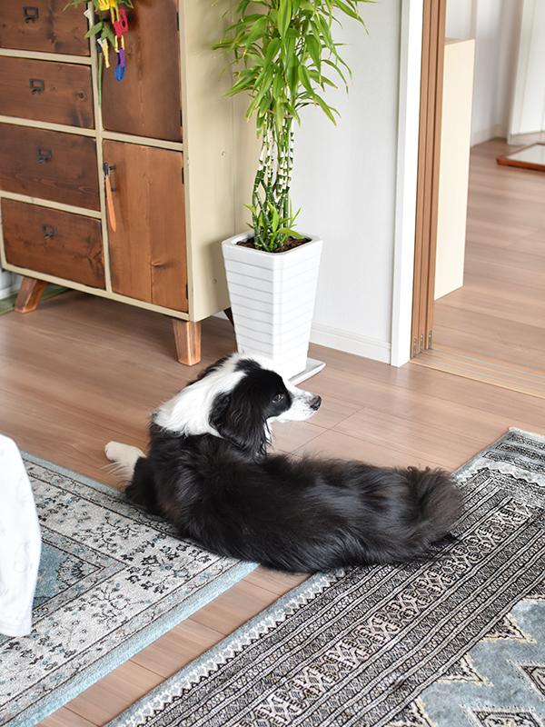 元保護犬 ボーダーコリーミックス