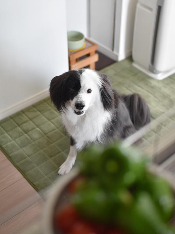 トマト好きな犬