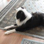 ボーダーコリーミックス 元保護犬