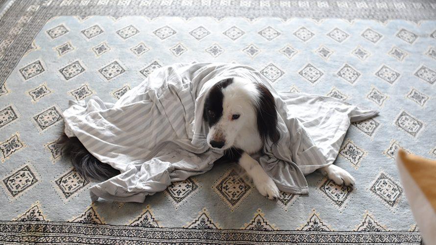 元保護犬 ボーダーコリー