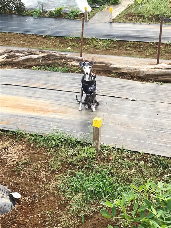 犬連れ家庭菜園