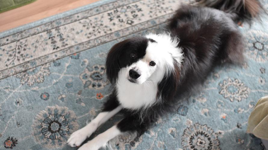 片パンダ犬 元保護犬