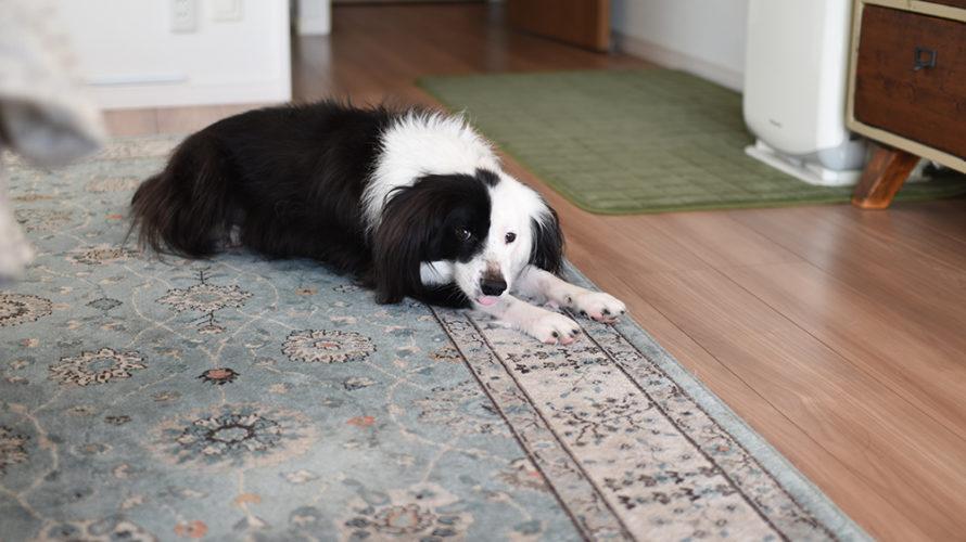 ボーダーミックス 元保護犬