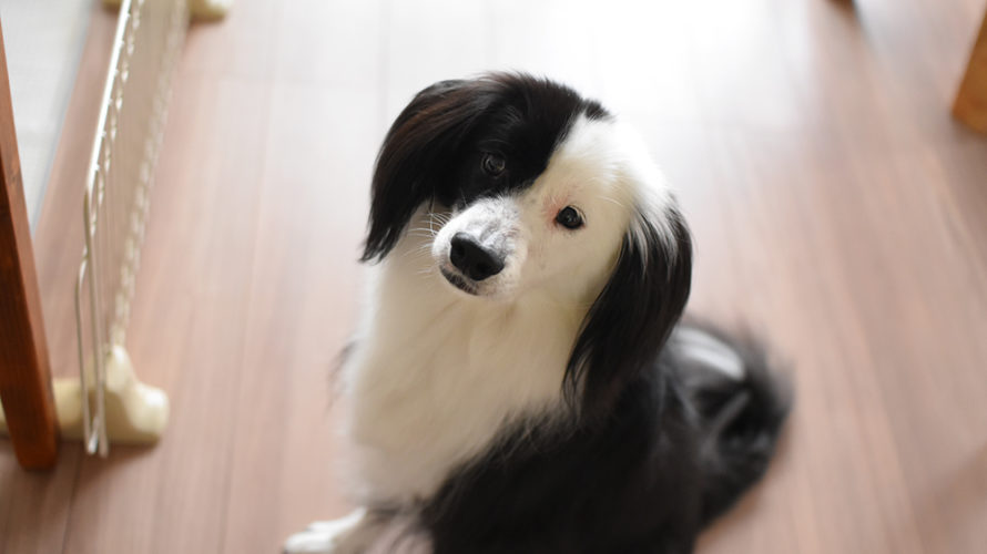 ボーダーミックス 犬ブログ