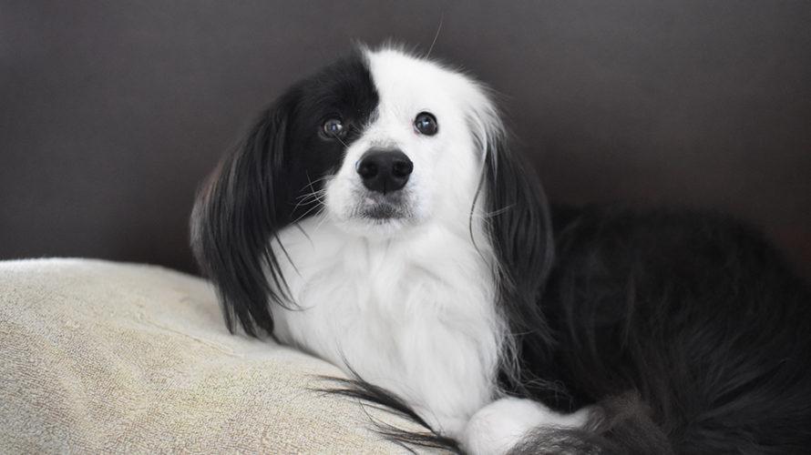 保護犬 ボーダーコリー