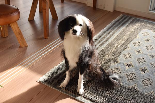 犬ブログ ハロウィン
