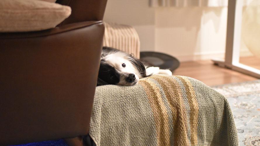 インドア派の白黒犬