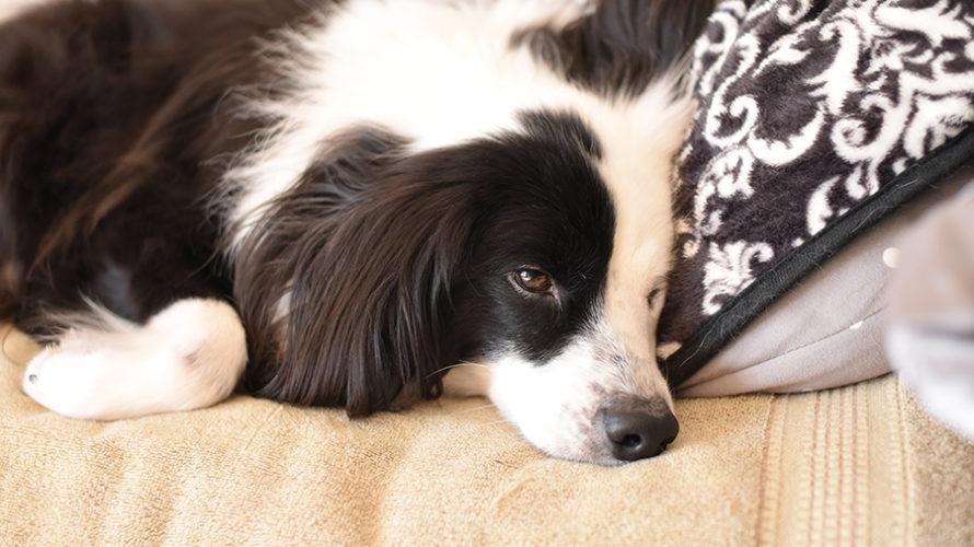 元保護犬のゆるい日常