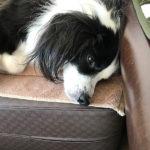 寝落ち犬。