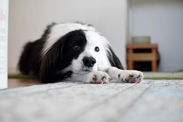 元保護犬 雑種