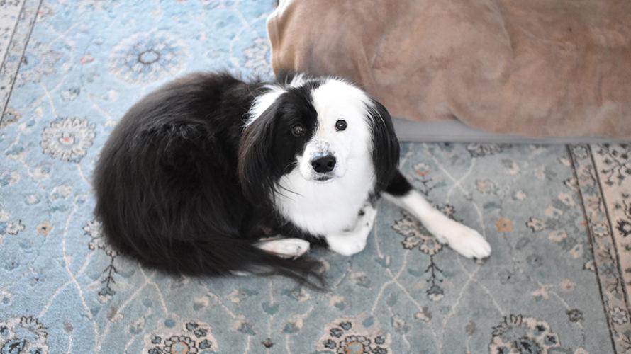 インドア派 中型犬 雑種