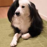 ボーダーコリーミックス 犬ブログ