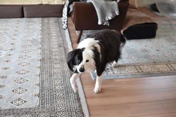 犬のアジソン病の薬