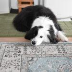 元保護犬の日常