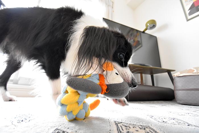 ペンギンと戯れるインドア犬