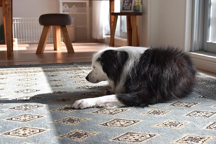 日向ぼっこの犬