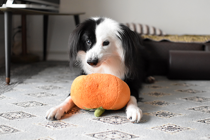 ハロウィンカボチャと犬
