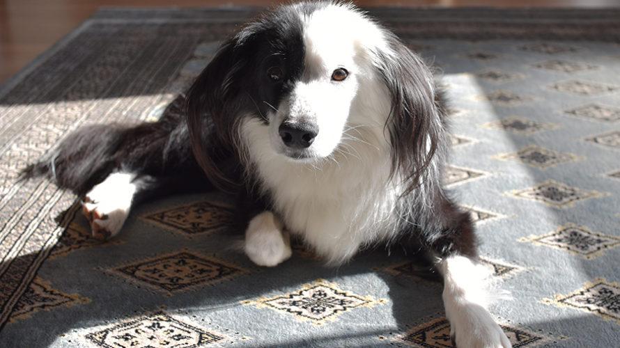 中型犬の自宅シャンプー