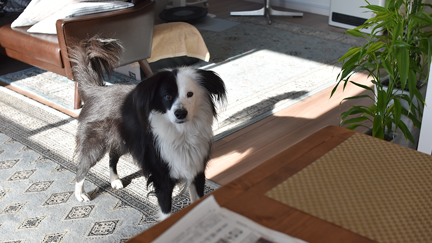 大掃除 元保護犬ボーダーコリー