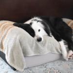 洋犬雑種 元保護犬