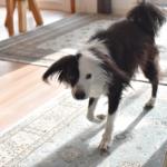 元保護犬 犬ブログ 犬のいる暮らし