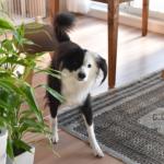 白黒片パンダ犬