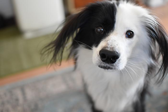 片パンダ犬 元保護犬ブログ