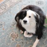 アジソン病の犬との暮らし
