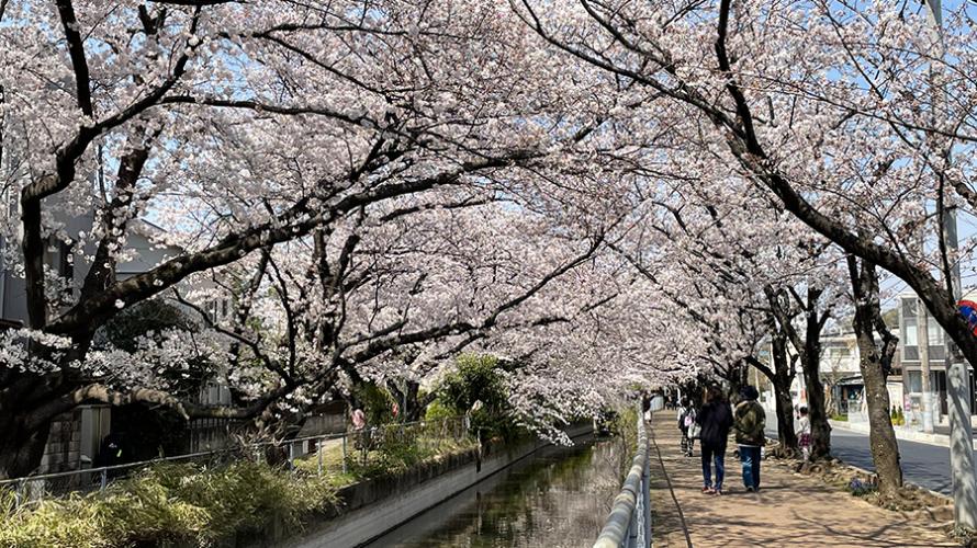 片パンダ犬と桜 花見散歩