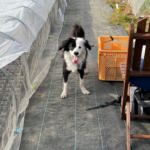 夏野菜の畑と犬