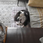 片パンダ犬の暮らし