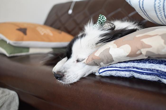 片パンダボーダーコリーミックス犬ブログ