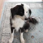ホルモン疾患犬 毛量チェック